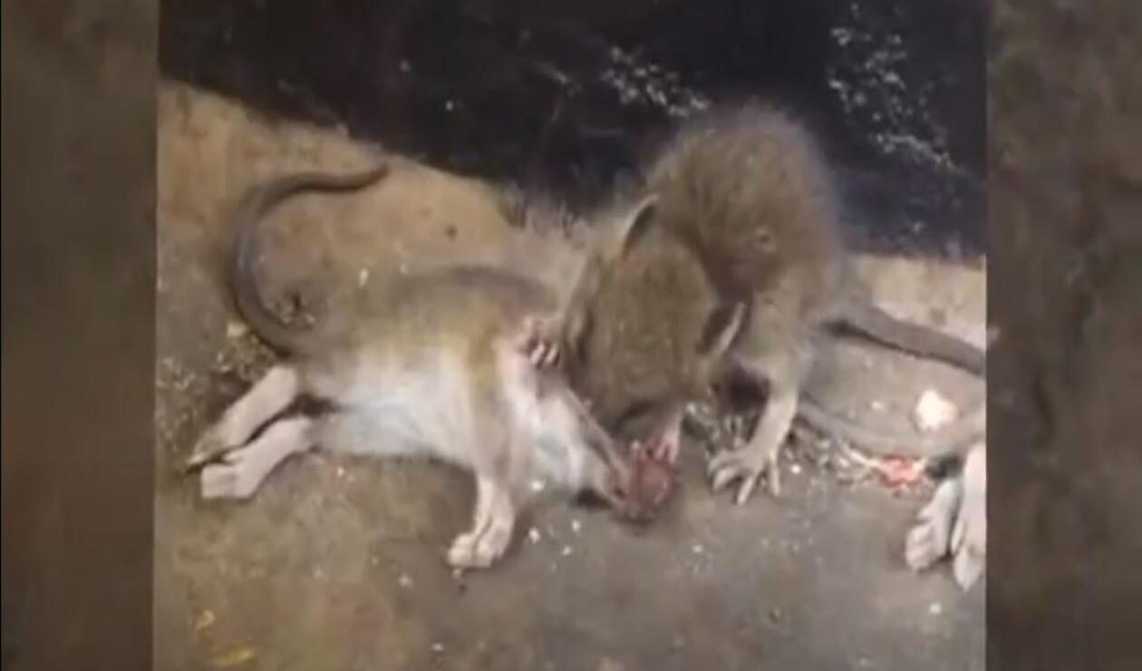 Aumenta el canibalismo entre ratas por la falta de comida