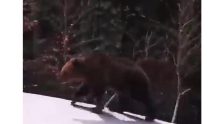 Persecución de oso a esquiador en Rumania